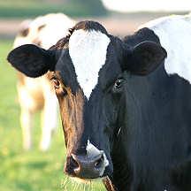 Mucca di razza Frisona